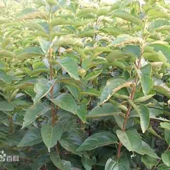 柿子树接穗 1-2年生柿子树苗(未嫁接)