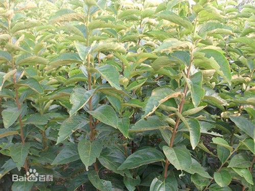河南省三门峡市灵宝市柿子树接穗 1-2年生柿子树苗(未嫁接)