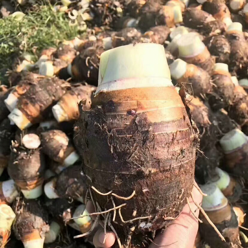 [香芋批发]香芋  广西荔浦芋头正宗新鲜现挖糯香专业一件代发价格15.5元/箱
