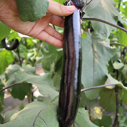 [紫长茄批发] 新鲜紫茄子贵州农家自种黑紫烧烤茄子新鲜蔬菜特产箱包邮10斤价格3元/斤