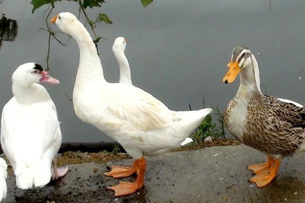 现在市场肉鸭多少钱一斤?肉鸭养殖前景分析