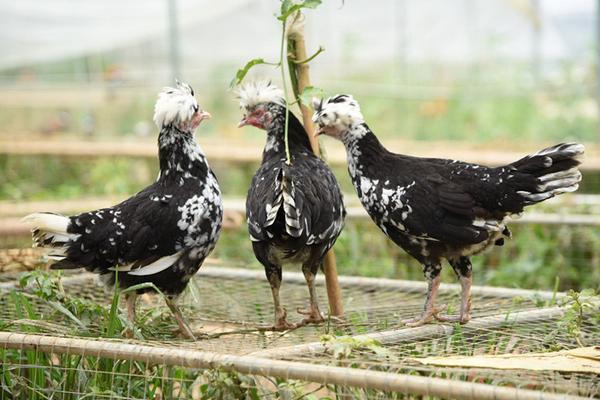 中国十大名鸡有哪些?哪一品种最贵?