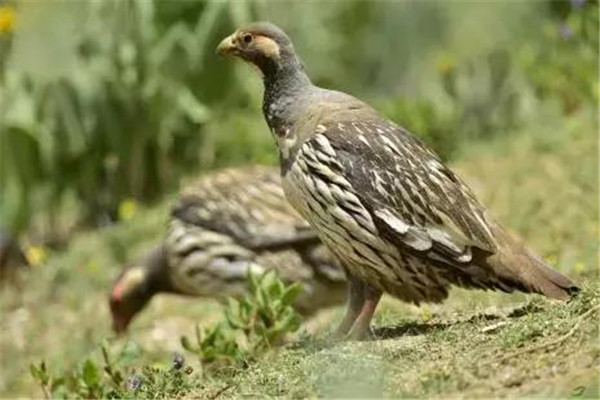 中国十大名鸡品种排名
