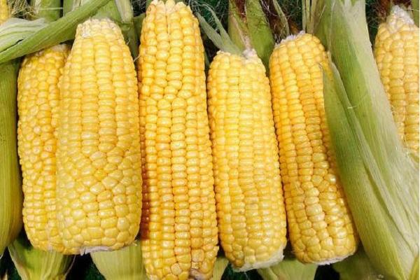 近期玉米价格上涨,农民什么时候卖粮合适?(附11月玉米价格行情预测)
