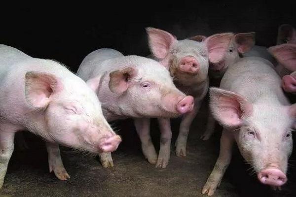2020年养猪补贴政策解读