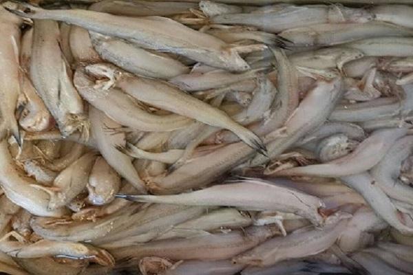 2020年龙头鱼多少钱一斤?市场前景如何?(附龙头鱼的处理方法)