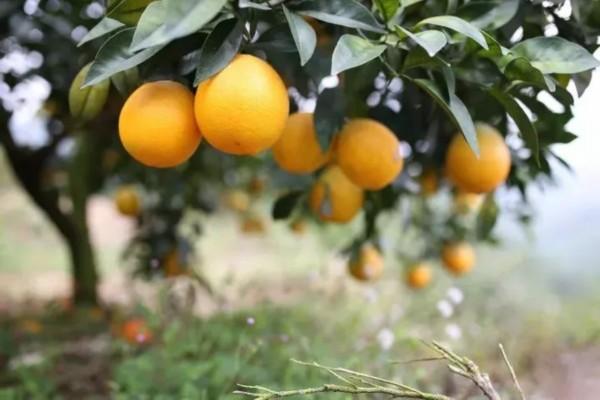 脐橙价格多少钱一斤?脐橙种植利润及前景分析