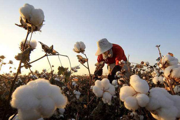 2020年北方宜棉区种植户需做到这几大要点