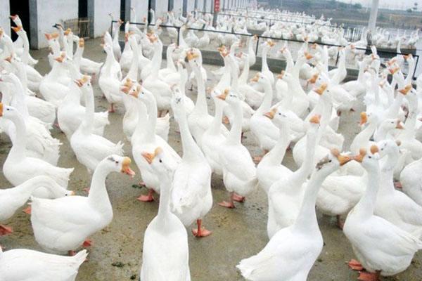 优质的白鹅品种有哪些?