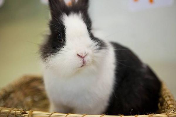 全国最可爱的兔品种介绍