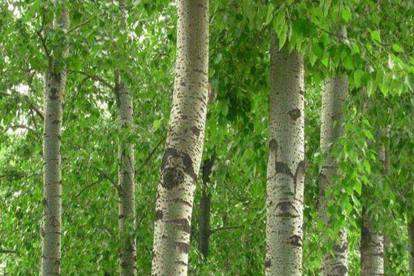 2020年种植杨树赚钱吗?种植前景怎样?
