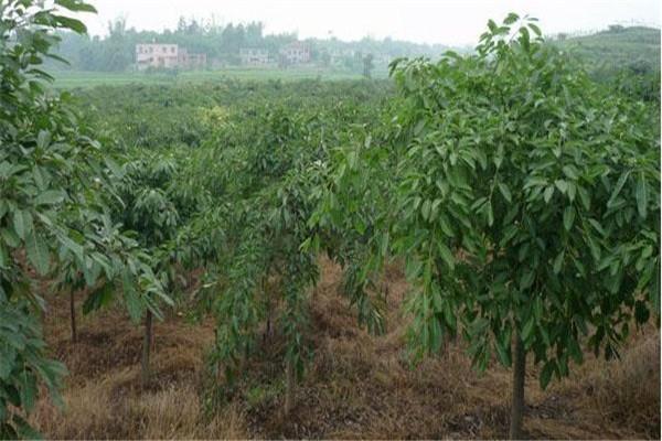 黄葛树种子哪里有卖?育苗方法有哪些?