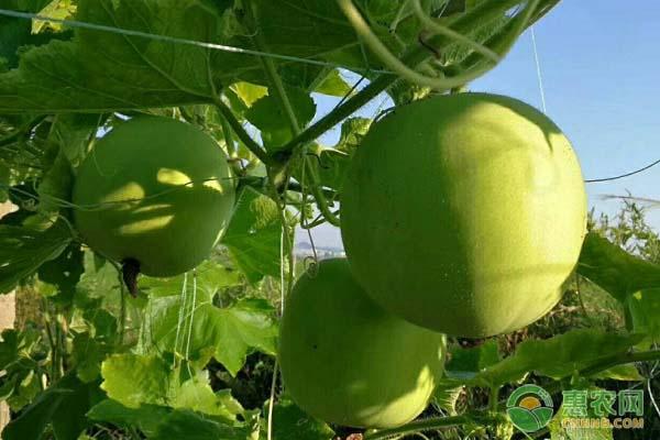 农户种出1米5高冬瓜