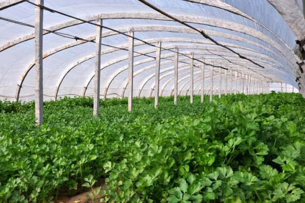 夏季可以種植香菜嗎?天氣過熱時可以采取怎樣的措施?