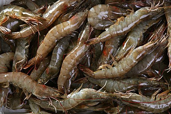 泥蝦產地在哪?有哪些養殖優勢?