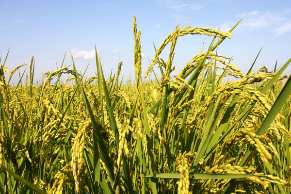 什么品種的水稻好吃又高產?