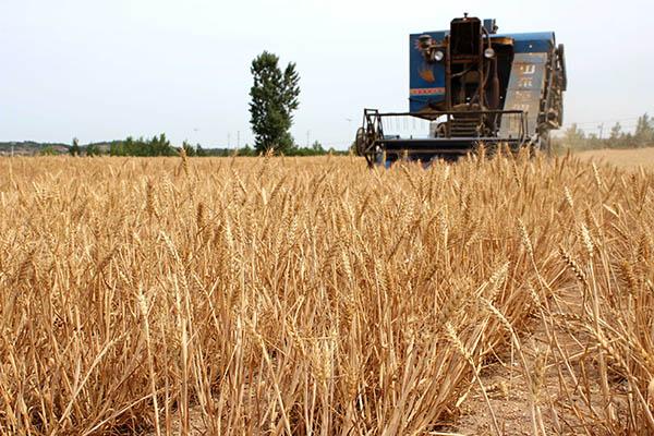高產小麥前十名的品種