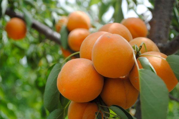 杏子產地在哪?有哪些好吃的品種?