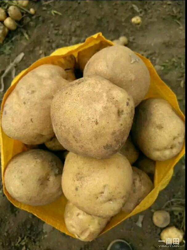 [延薯4号土豆批发]延薯4号土豆 大量供应吉林尤金,延暑,黄金暑土岩二号,价格0.55元/斤