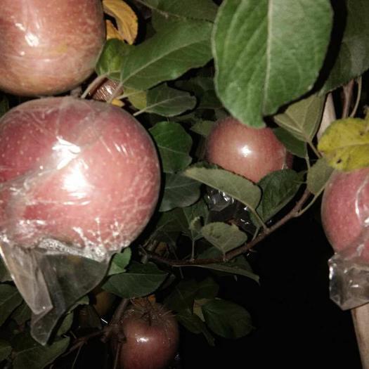 重慶市永川區紅富士蘋果 膜袋 片紅 75mm以上