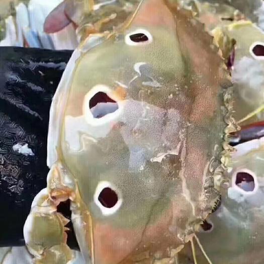 福建省漳州市東山縣紅膏蟹 海捕2-3兩紅膏三點蟹,肉肥膏滿,凍廠直批