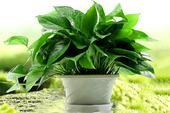 綠蘿  新房凈化空氣植物