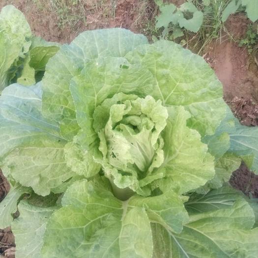 廣西壯族自治區桂林市全州縣早熟五號大白菜 1斤以下 凈菜