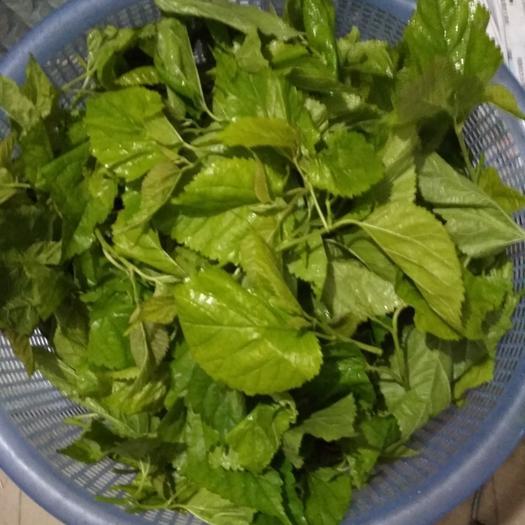 廣西壯族自治區南寧市橫縣速凍桑葉菜 綠色無公害保健葉菜