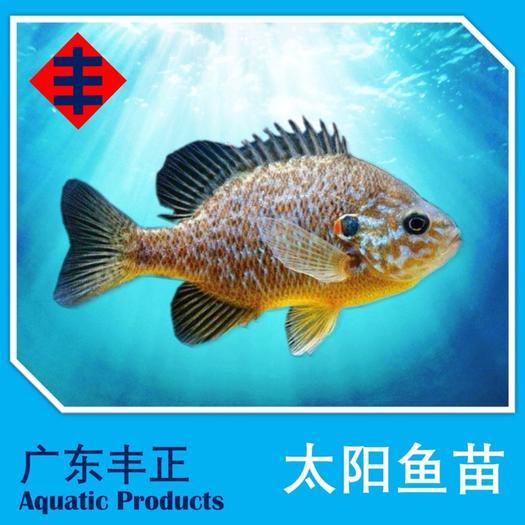 广东省江门市新会区金边太阳鱼