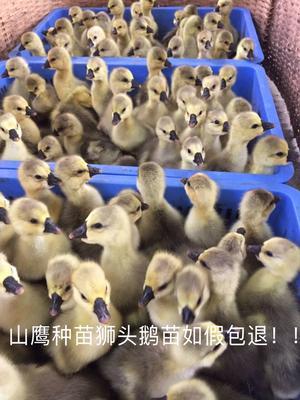 [狮头鹅苗]狮头鹅苗优质-包打疫苗运输包视频下载狸窝图片