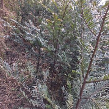 南方红豆杉 0.5~1米