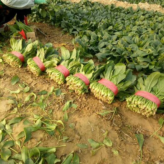 山東省濱州市惠民縣 萬畝優質菠菜,專業割菜團隊,大量供貨!