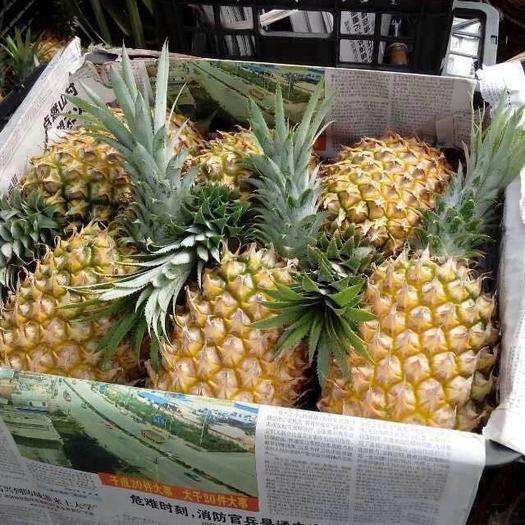 广东省湛江市徐闻县 大量供应广东徐闻菠萝,曲界菠萝,产地农户直销