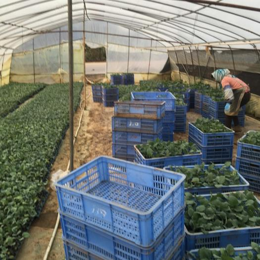 廣西壯族自治區南寧市西鄉塘區茄子苗 深紫紅色長茄,燒烤茄子。
