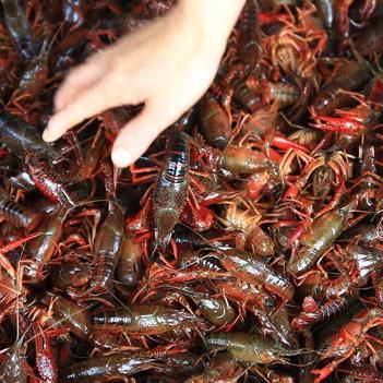 中國龍蝦 國產 0.4-0.6斤/只