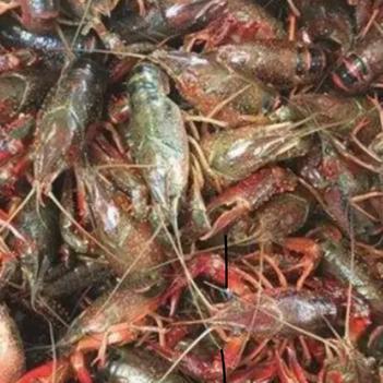 潛江小龍蝦 硬規格6.4-10,肉質細嫩飽滿