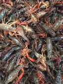清水小龍蝦 人工養殖 4-6錢