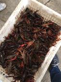 清水小龍蝦 6-8錢 人工養殖