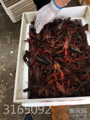紅殼小龍蝦 人工養殖 4-6錢