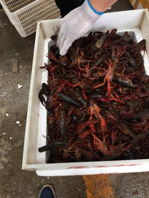 湖北省仙桃市仙桃市紅殼小龍蝦 人工養殖 4-6錢