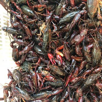 潜江小龙虾 9钱以上 人工养殖