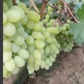 维多利亚葡萄 1.5- 2斤 5%以下 1次果