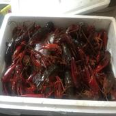 紅殼小龍蝦 人工養殖 2錢以下