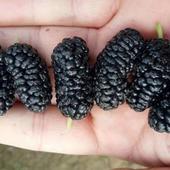黑珍珠桑树苗 北方耐寒果桑品种