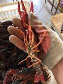 紅殼小龍蝦 人工養殖 6-8錢