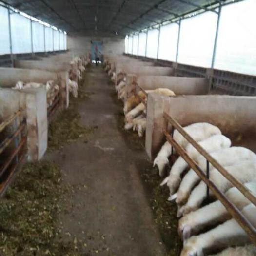 福建省三明市尤溪县 肉羊种羊