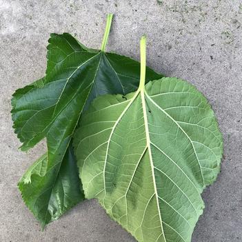 養蠶桑樹苗 農桑14 強桑一號 育711 一年苗0.5cm到0.8規格