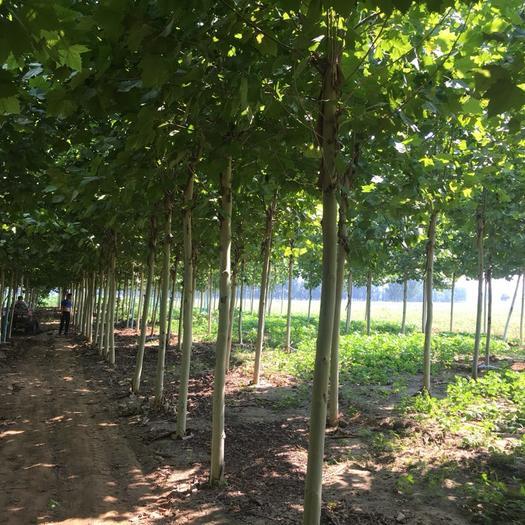 山东省滨州市惠民县速生法桐 全国最大的法桐(悬铃木)基地,欢迎大家前来选购