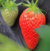 甜寶草莓苗 包郵 帶土發貨 帶花帶果 配送種植資料 生根粉