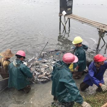 巴沙魚 人工養殖 1-1.5公斤